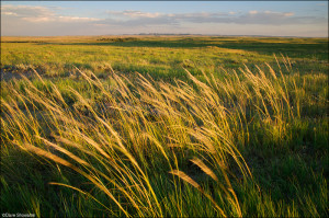 Canada rye grass bends in hot summer winds just before sunset on the grassland. An unusually wet summer painted the prairie in lush green, an illusion in the unyielding dry July heat. I made this image while on assignment for All Animals Magazine, photographing the first relocation of prairie dogs from private to public lands.