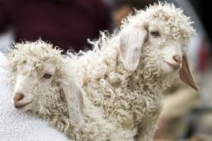 angro-baby-goats