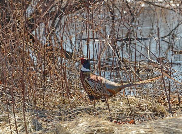 pheasant-by-stream