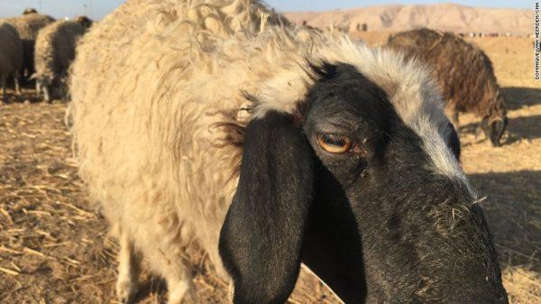 lamb-bazwaya-iraq-lost-shepherd-exlarge-169