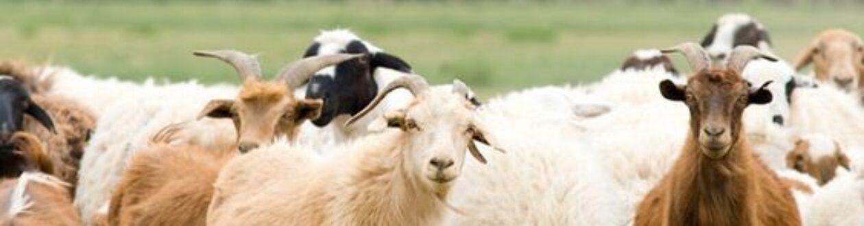 Anala Goat Company